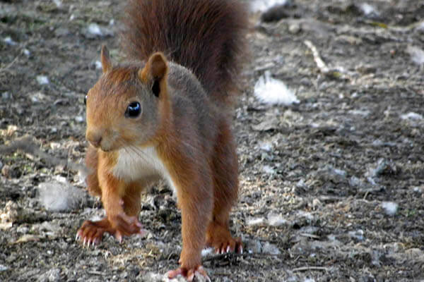 How long do squirrels live?