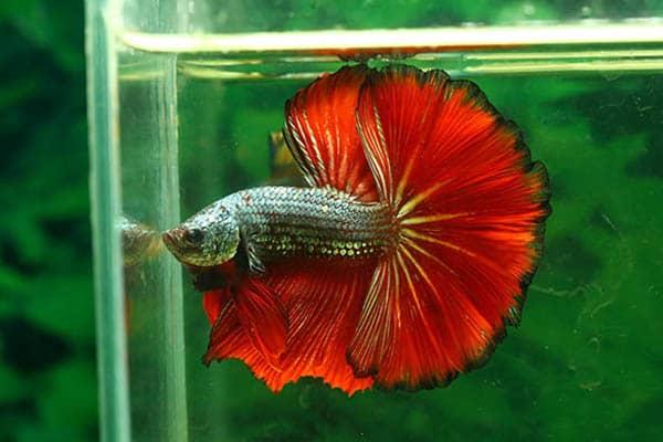 How long do betta fish live in captivity?