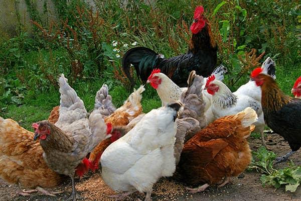 Chickens lifespan
