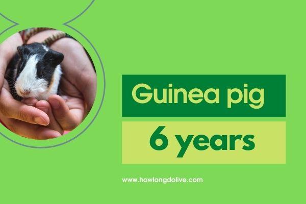 How long do guinea pigs live?