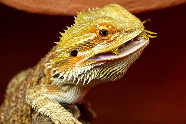 Favorite and most recommended foods of bearded dragons