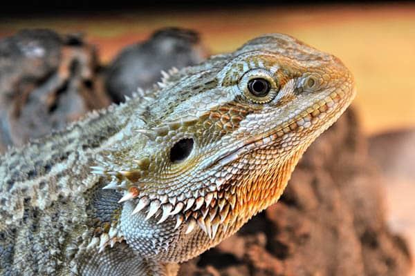 Colorful beards of bearded dragons