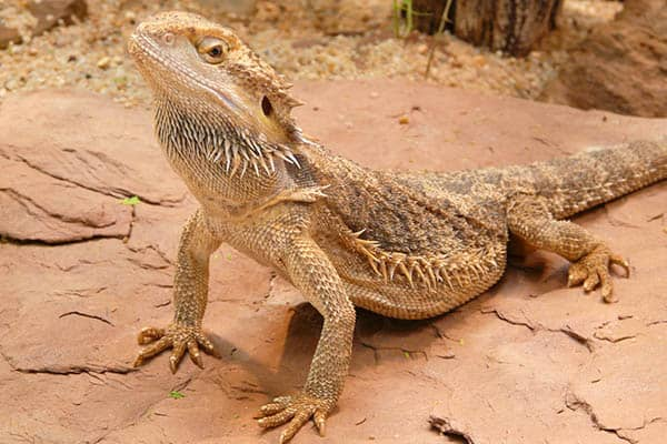 Life expectancy of bearded dragons